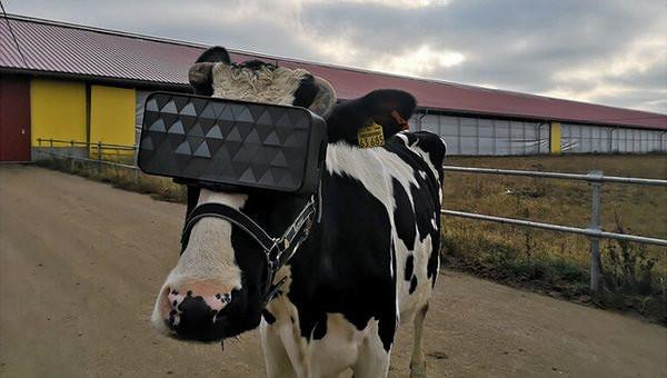 cow602.jpg